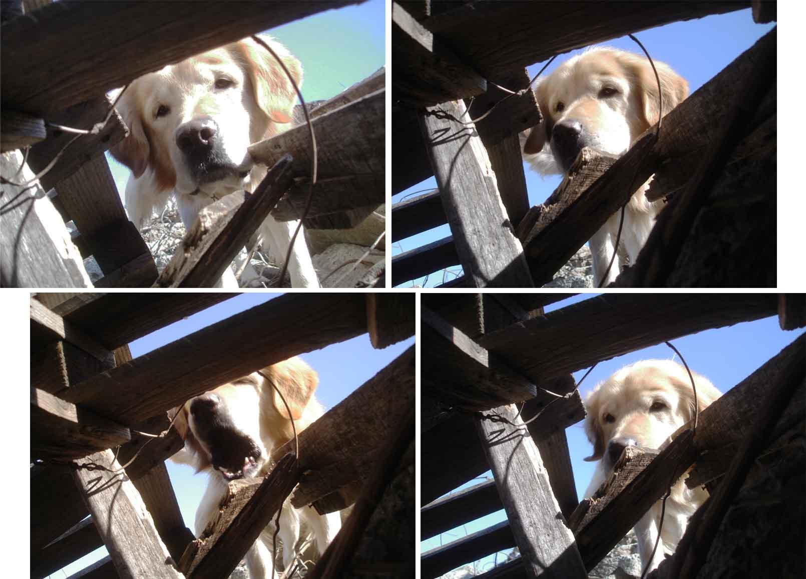G犬の告知表情②