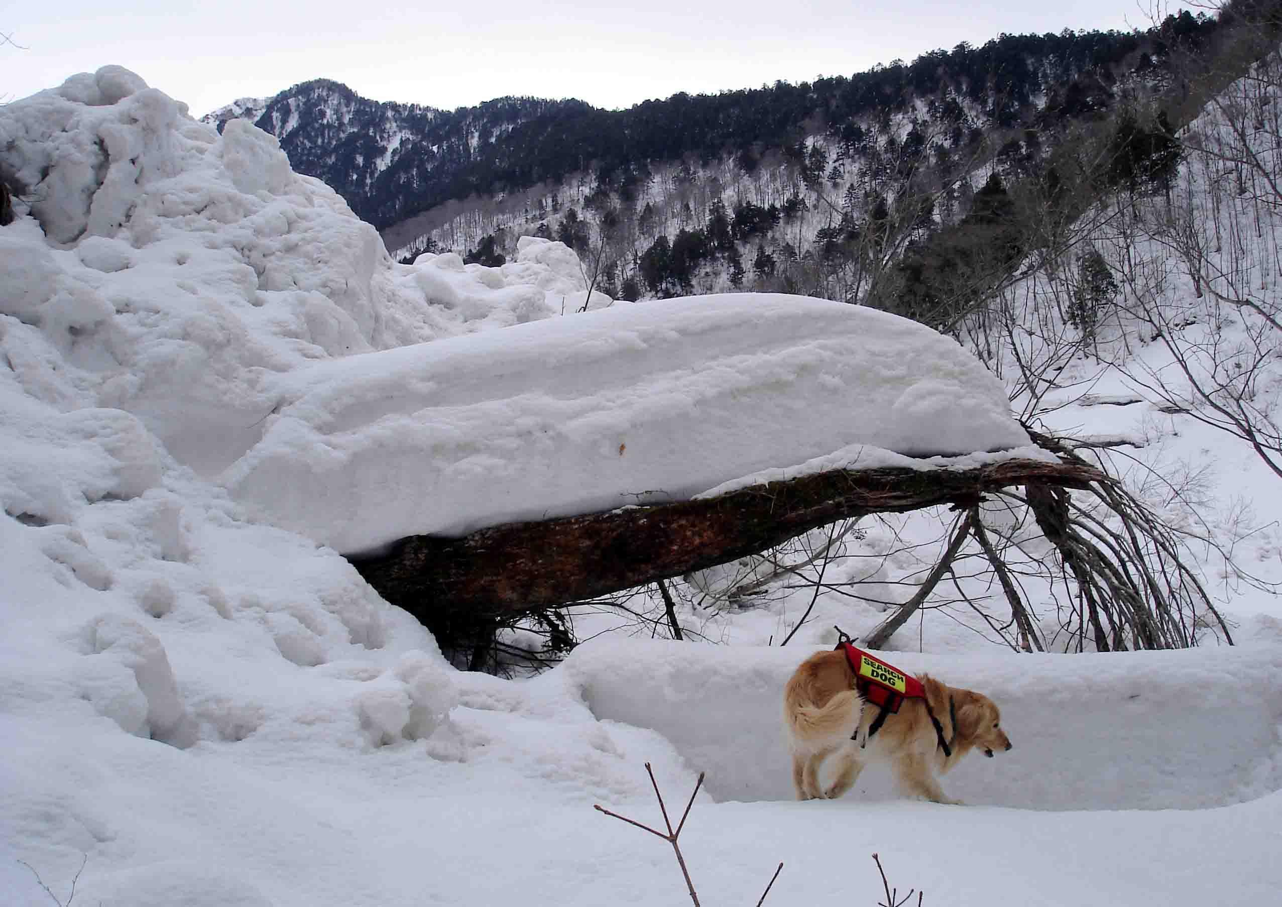 ワサビ平小屋手前のデブリ②末端の雪と倒木 DSC08744