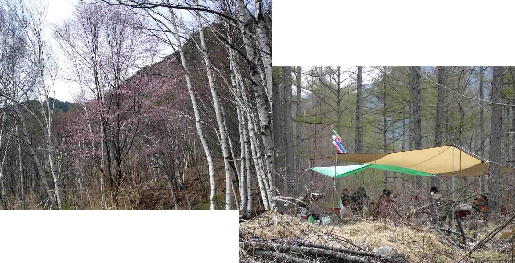 キャンプ場近くの白樺と山桜&メインサイト