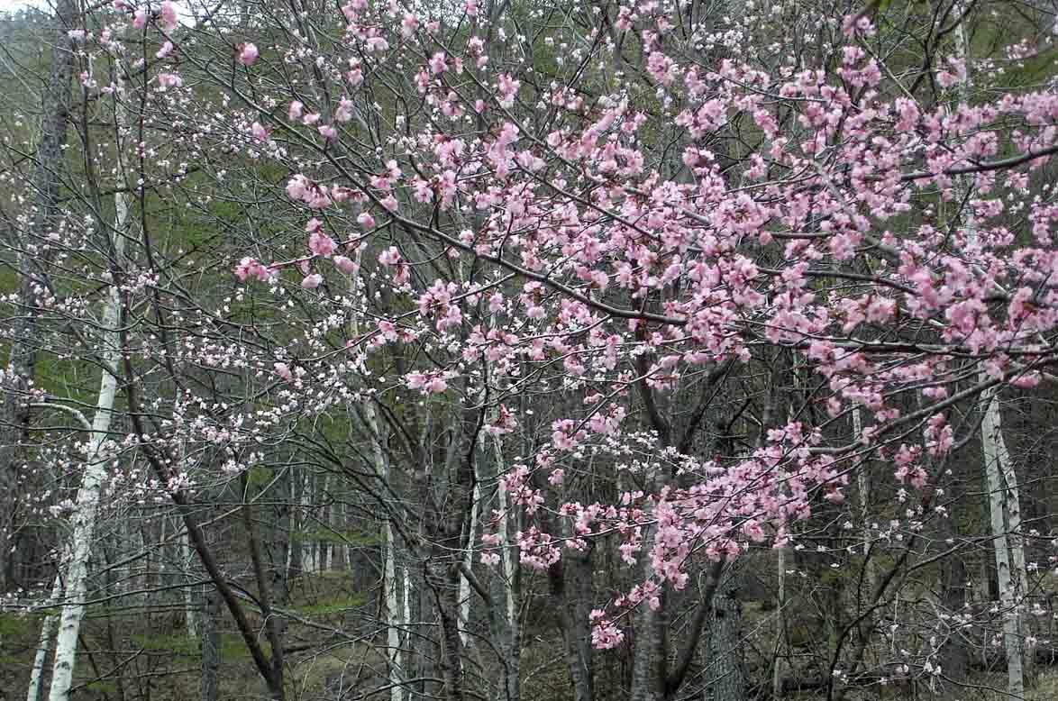 4日朝 キャンプ地内の桜
