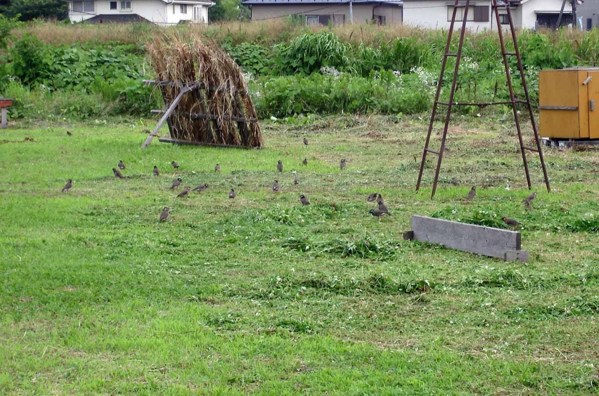 090620 草刈直後に現れる鳥