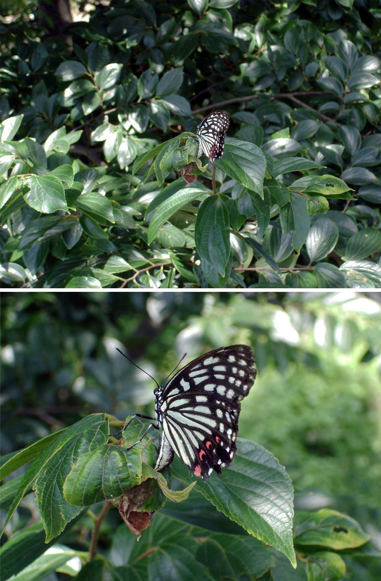 エノキの葉に産卵するアカボシゴマダラ