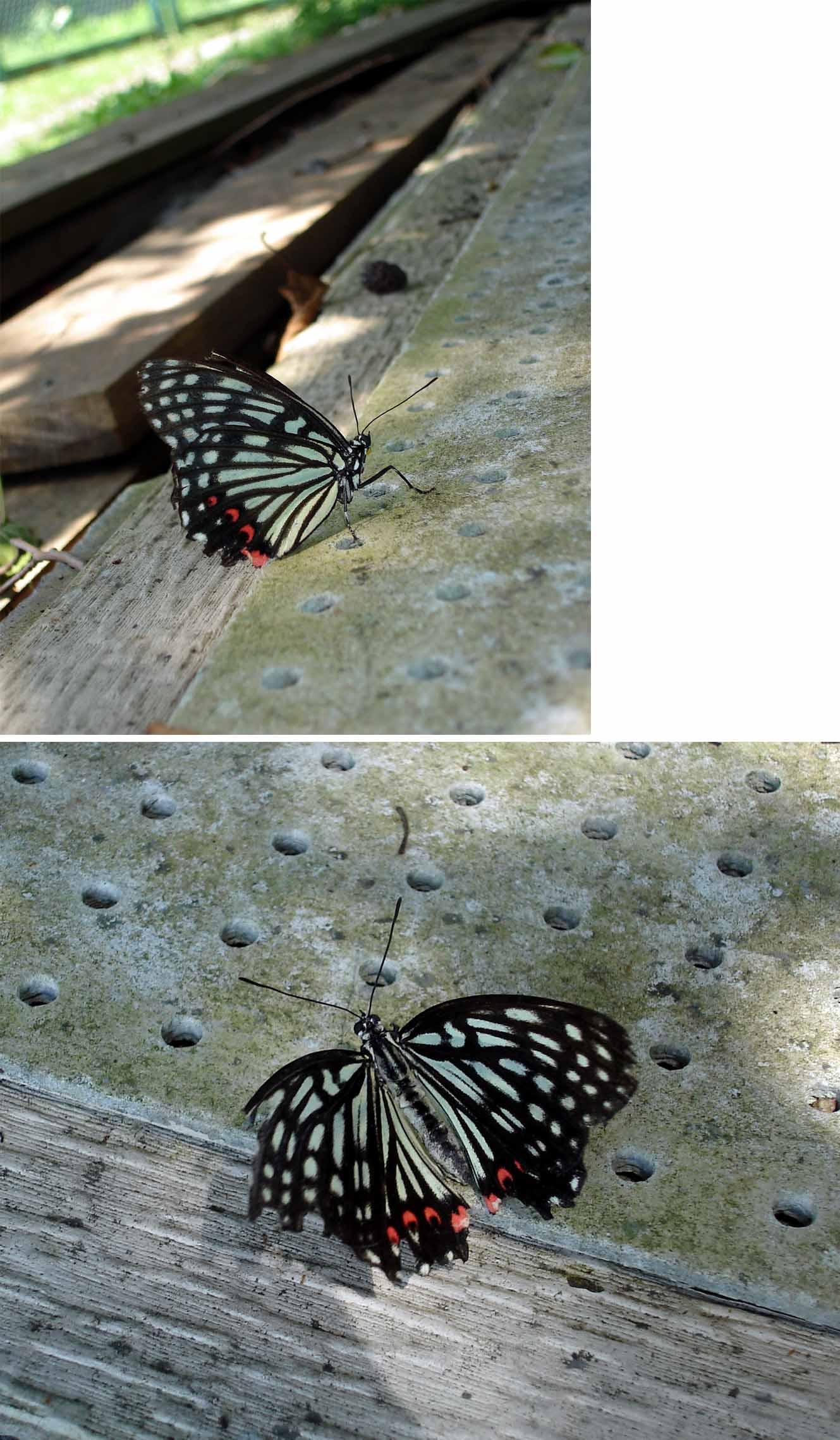 産卵後地上近くで休むアカボシゴマダラ♀