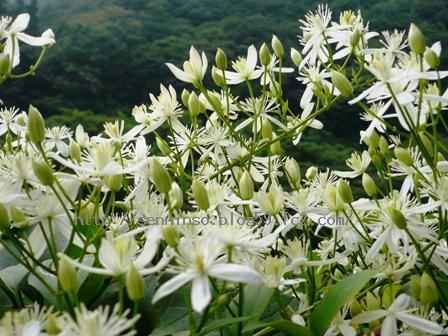 仙人草の花0901