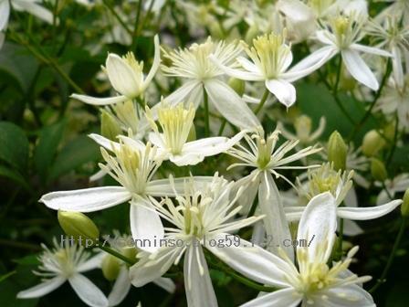 仙人草の花0903