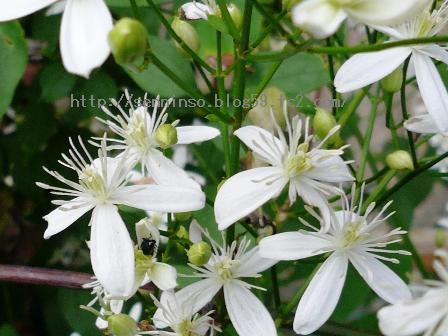 仙人草の花0904