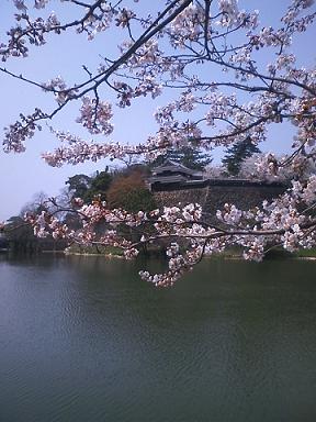 桜と松江城の城壁
