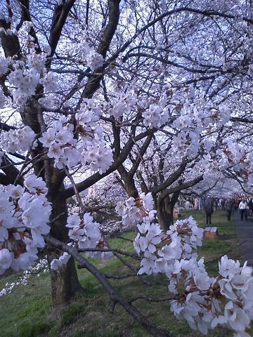 木次町の桜