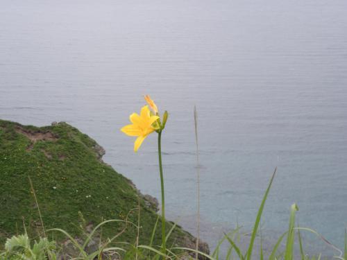 神威岬に咲くゼンテイカ