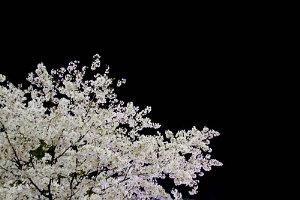 omokagebashisakura.jpg