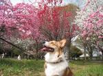 角度を変えて、三色の桜とフェスタ。