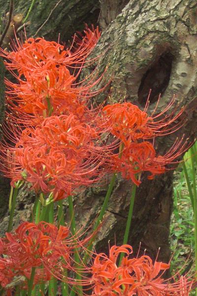 cluster amaryllis4
