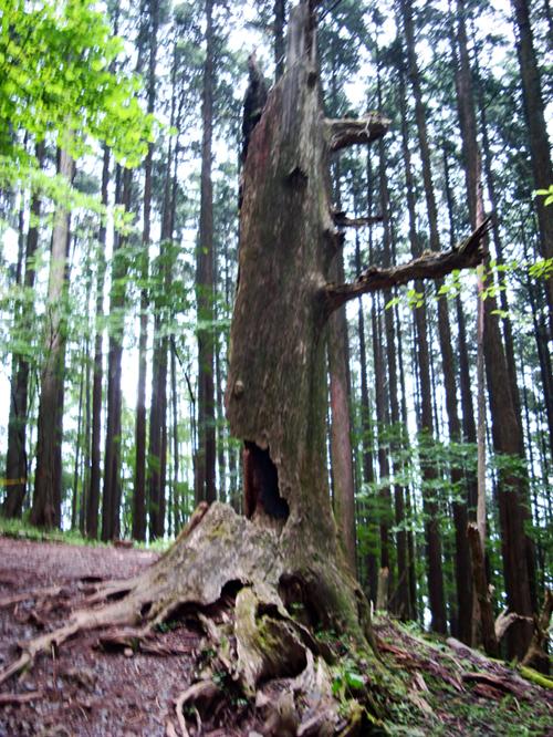 枯れた後も登山客を見守る大樹
