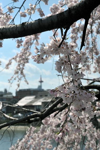 桜と鴨川と京都タワー。