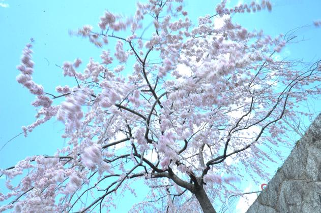 桜と風と青空。