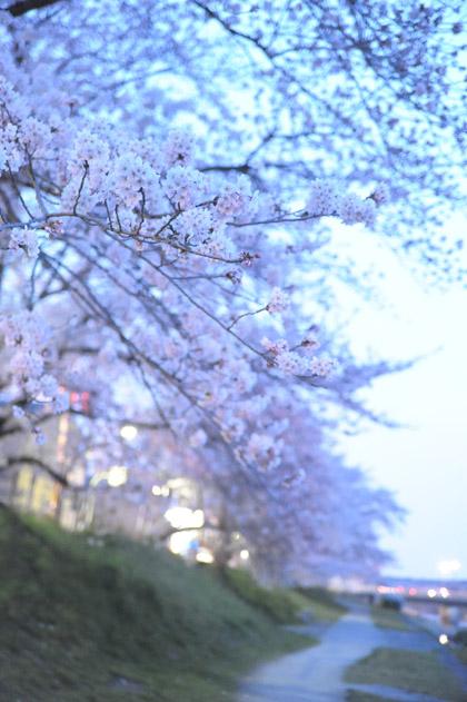 高野川夜桜