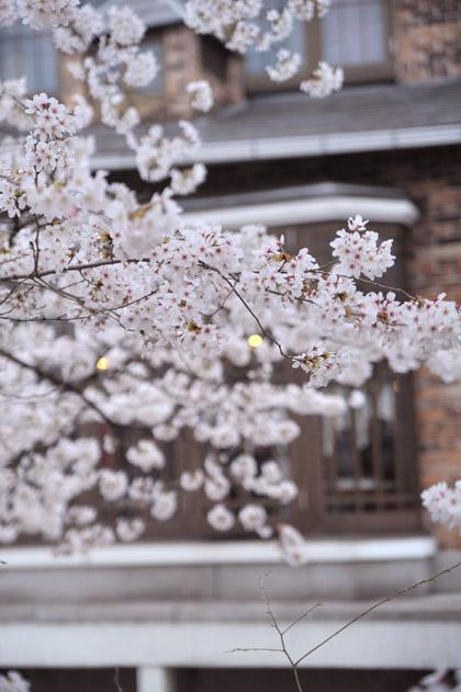 木屋町、桜。