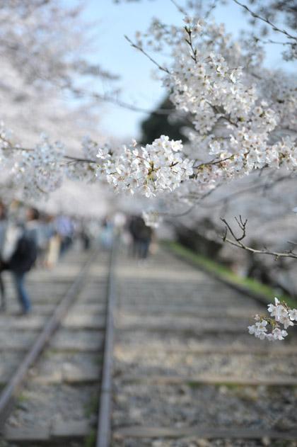 インクライン、桜。