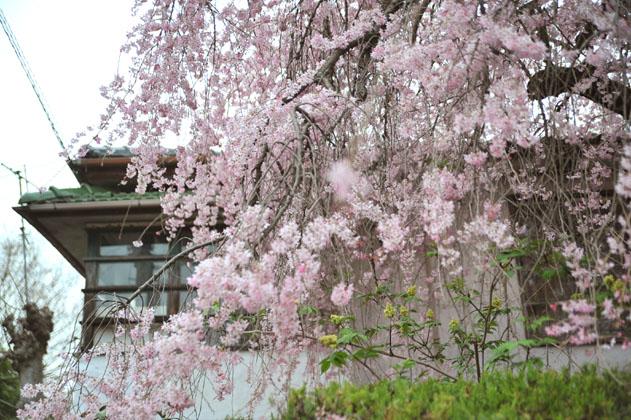 紅枝垂桜、銀月アパートメント。