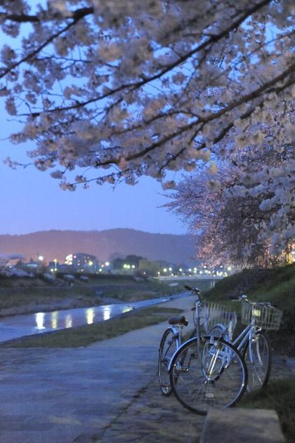 高野川、夜桜。
