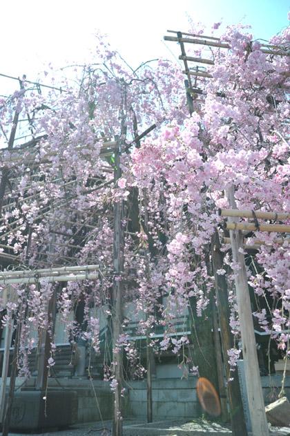 枝垂桜/仏光寺