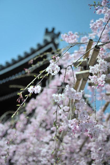 桜花/本堂