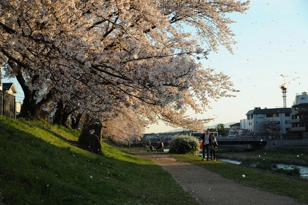 桜吹雪/夕暮れ