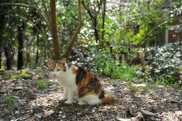 桜の頃/三毛猫