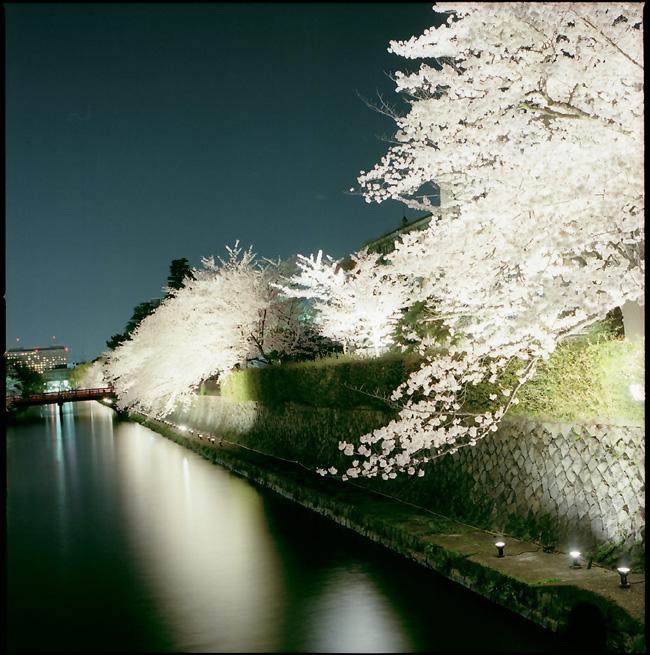 疎水/夜桜