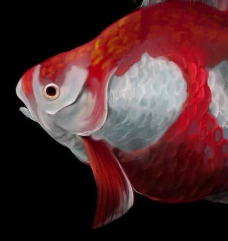 金魚 - コピー
