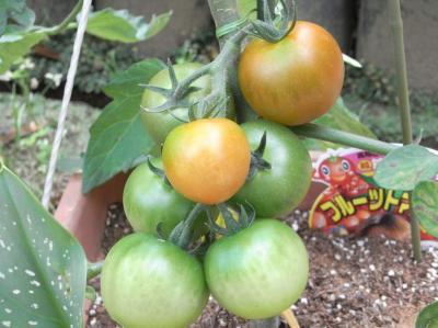フルーツトマト7