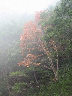 林道脇のナラ枯れ
