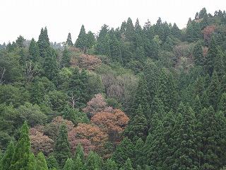 生杉のナラ枯れ