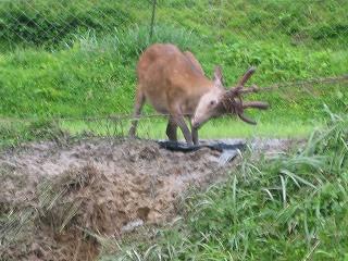 ネットにかかった鹿