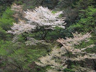 奥山渓谷の桜
