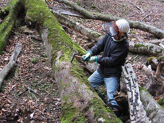 倒木の穴あけ作業