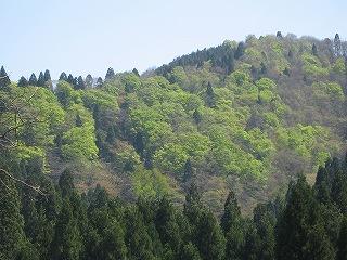 新緑の生杉