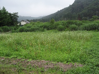 こぼれ種の蕎麦が延びてきた畑