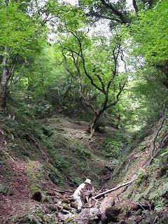 生杉原生林