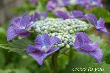 6-19紫陽花