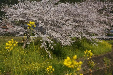 睦沢の桜-2