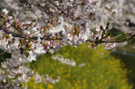 睦沢の桜-4