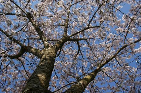 睦沢の桜-6