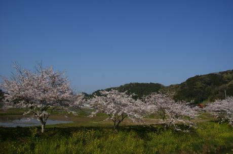 睦沢の桜-7