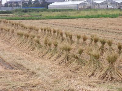 稲刈り-1