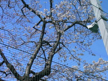 ネット越しの桜