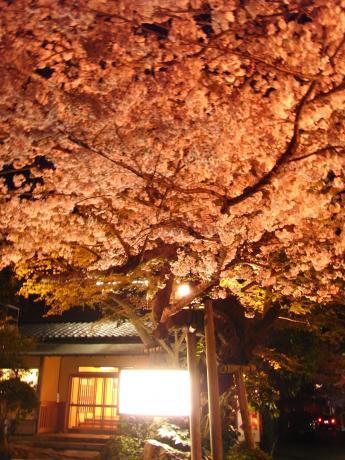 東金桜まつり-9