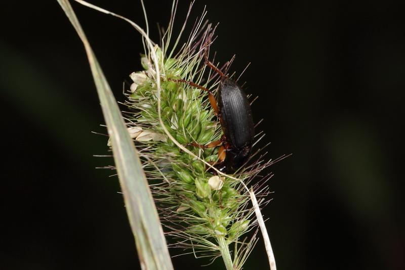 ゴモクムシの一種