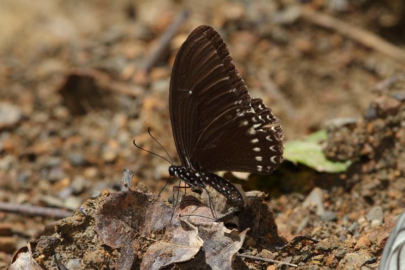 Papilio castor mahadeva?