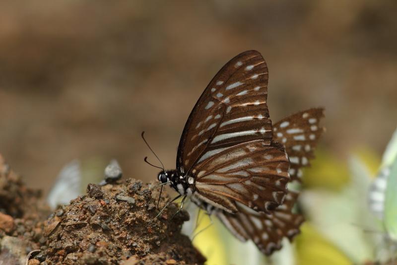 Graphium macareus?